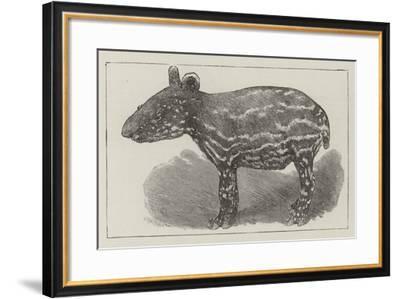 A Javanese Tapir--Framed Giclee Print