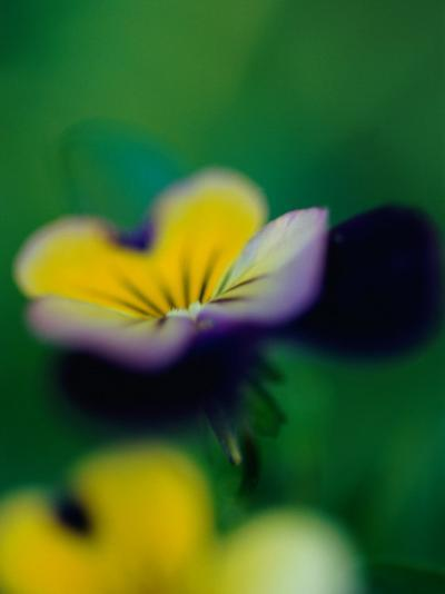 A Johnny-Jump-Up Violet-Heather Perry-Photographic Print