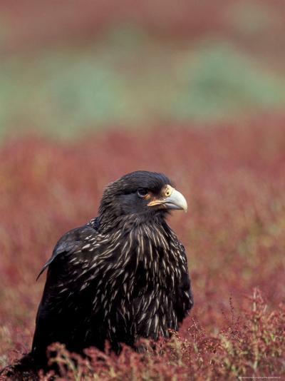 A Johnny Rooks in Sheep Sorel, Steeple Jason Island, Falklands-Hugh Rose-Photographic Print