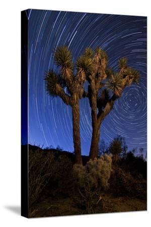 A Joshua Tree Against a Backdrop of Star Trails, California