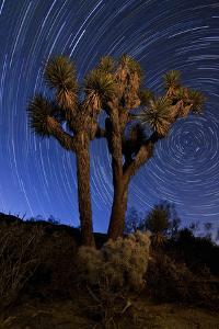 A Joshua Tree Against a Backdrop of Star Trails, California