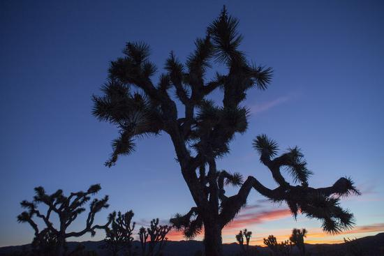 A Joshua Tree Silhouetted Against the Sunset Sky in Lost Horse Valley-Kent Kobersteen-Photographic Print