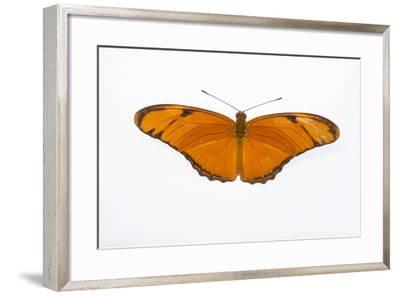A Julia Butterfly, Dryas Iulia Largo, at the Minnesota Zoo-Joel Sartore-Framed Photographic Print
