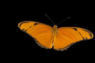 A Julia Butterfly, Dryas Iulia Largo, at the Minnesota Zoo-Joel Sartore-Photographic Print