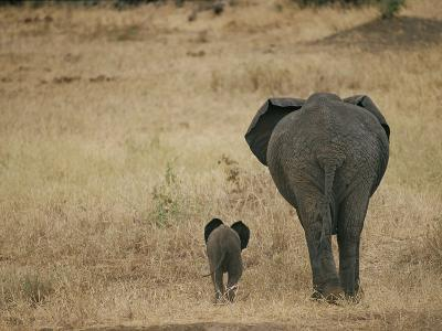 A Juvenile African Elephant and its Parent Walk off into the Savanna-Roy Toft-Photographic Print