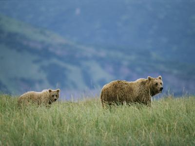 A Juvenile Alaskan Brown Bear Follows its Mother-Roy Toft-Photographic Print
