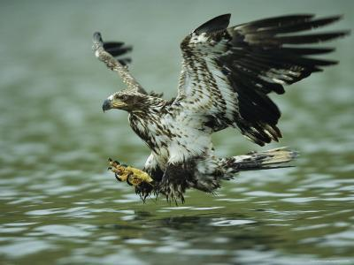 A Juvenile American Bald Eagle in Flight over Water Hunting for Fish-Klaus Nigge-Photographic Print