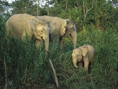 A Juvenile Asian Elephant with Two Adults in Tall Grasses-Tim Laman-Photographic Print