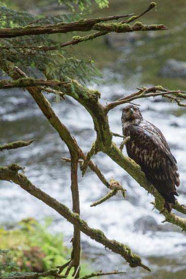 A Juvenile Bald Eagle, Haliaeetus Leucocephalus, Perches on a Branch-Erika Skogg-Photographic Print