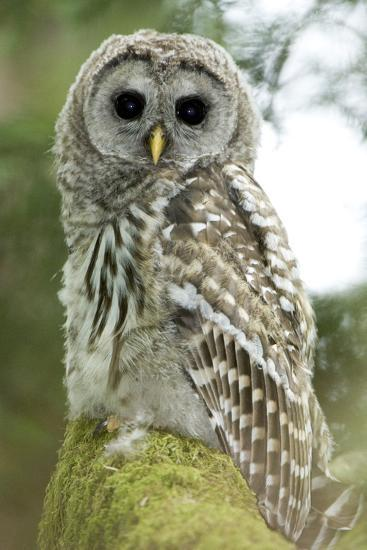 A Juvenile Barred Owl, Strix Varia, Perches on a Tree Branch-Paul Colangelo-Photographic Print
