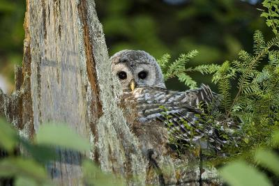 A Juvenile Barred Owl, Strix Varia, Rests on Top of a Dead Tree-Paul Colangelo-Photographic Print
