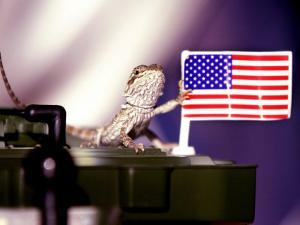 A Juvenile Bearded Dragon Places a Claw Upon an United States Flag