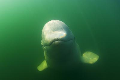 A Juvenile Beluga Whale Swims in Saguenay Saint Lawrence Marine Park-David Doubilet-Photographic Print