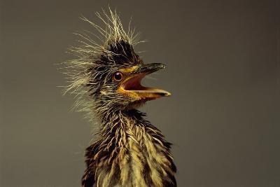 A Juvenile Black-crowned Night Heron-Scott Sroka-Photographic Print