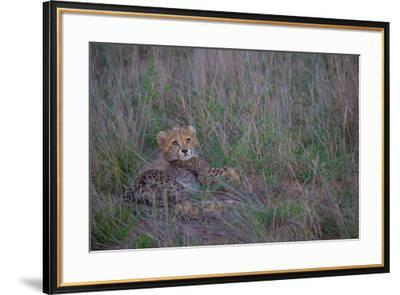 A juvenile cheetah looks up at the sky.-Andrew Coleman-Framed Photographic Print
