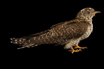 A Juvenile Common Cuckoo, Cuculus Canorus, from the Budapest Zoo.-Joel Sartore-Photographic Print