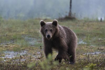 A Juvenile European Brown Bear, Ursus Arctos Arctos, Walking and Looking at the Camera-Sergio Pitamitz-Photographic Print