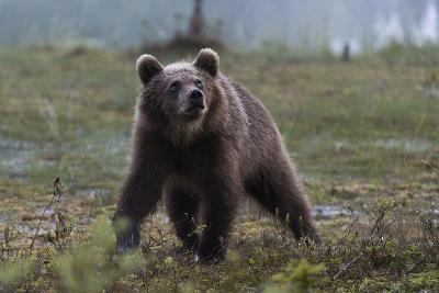 A Juvenile European Brown Bear, Ursus Arctos Arctos, Walking and Looking Up-Sergio Pitamitz-Photographic Print