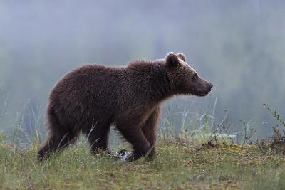A Juvenile European Brown Bear, Ursus Arctos Arctos, Walking on a Lake Shore-Sergio Pitamitz-Photographic Print