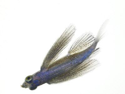 https://imgc.artprintimages.com/img/print/a-juvenile-flying-fish_u-l-p6xwzs0.jpg?p=0