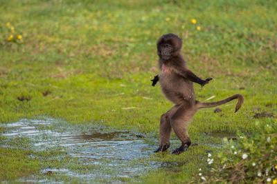 https://imgc.artprintimages.com/img/print/a-juvenile-gelada-monkey-theropithecus-gelada-plays-in-a-puddle-in-the-highlands_u-l-q1dc2pn0.jpg?p=0