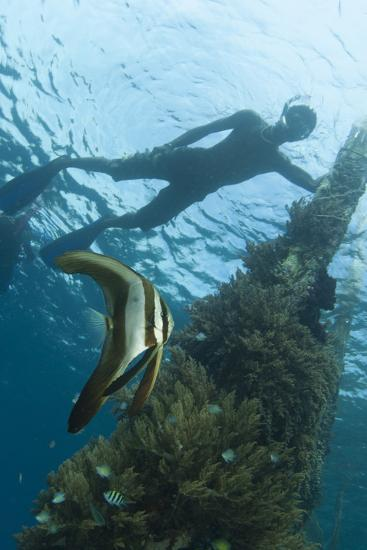 A Juvenile Golden Spadefish Whilst a Local Villager Watches from the Surface--Photographic Print