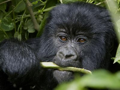 A Juvenile Gorilla Eating a Stalk-Beverly Joubert-Photographic Print