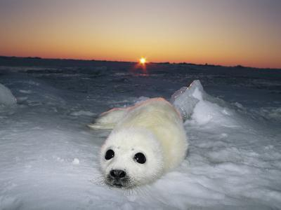 A Juvenile Gray Seal Pup Rests as the Sun Begins to Rise over the Snowy Landscape-Norbert Rosing-Photographic Print