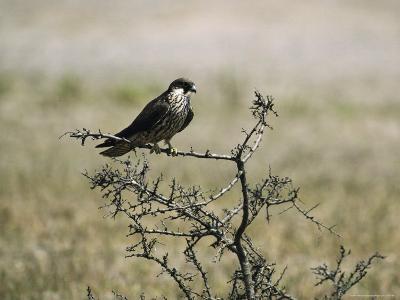 A Juvenile Hobby Perches on a Branch, Falco Subbuteo-Klaus Nigge-Photographic Print
