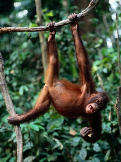 A Juvenile Orangutan Swings from a Vine-Tim Laman-Photographic Print