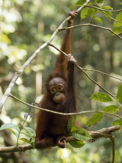 A Juvenile Oranutan, Pongo Pygmaeus, Hangs from a Tree Branch-Tim Laman-Photographic Print
