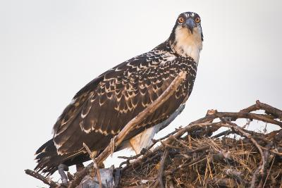 A Juvenile Osprey on a Nest at Sunset on the Occoquan River in Northern Virginia-Kent Kobersteen-Photographic Print