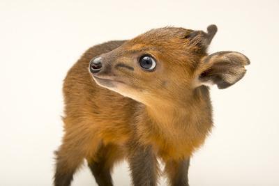 https://imgc.artprintimages.com/img/print/a-juvenile-red-flanked-duiker-cephalophus-rufilatus-at-the-los-angeles-zoo_u-l-q1dc8bz0.jpg?p=0