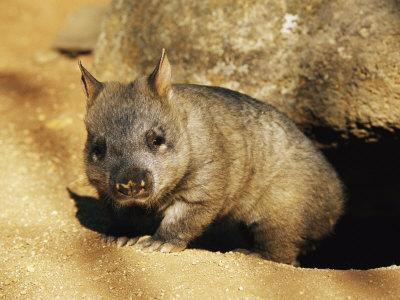 https://imgc.artprintimages.com/img/print/a-juvenile-southern-hairy-nosed-wombat-emerging-from-its-burrow-the-wombat-is-seven-months-old_u-l-p4ok3a0.jpg?p=0