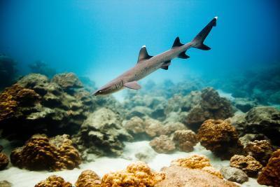 A Juvenile White Tip Reef Shark-Ben Horton-Photographic Print