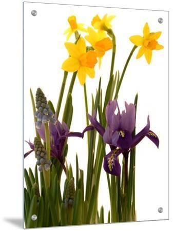 Spring Flowers Daffodils Iris And Muscari Art On Acrylic