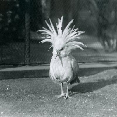 A Kagu or Cagu Displaying its Crest Feathers at London Zoo, June 1921-Frederick William Bond-Photographic Print