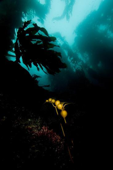 A Kelp Stem-Cesare Naldi-Photographic Print