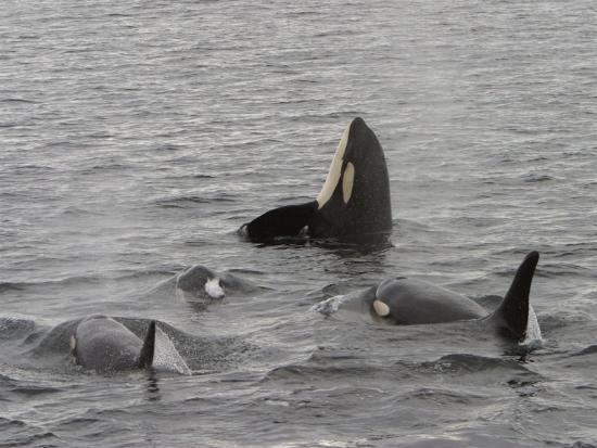A Killer Whale Pod in Johnstone Strait-Ralph Lee Hopkins-Photographic Print