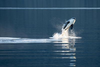 A Killer Whales, or Orca Leaping in Frederick Sound, Inside Passage, Alaska-Michael Melford-Photographic Print