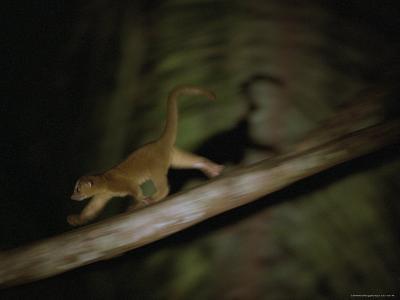 A Kinkajou Runs Across Balsa Limbs During its Nightly Feeding-Mattias Klum-Photographic Print