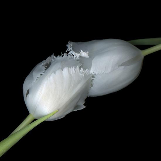 A Kiss To Build A Dream On - Tulips-Magda Indigo-Photographic Print