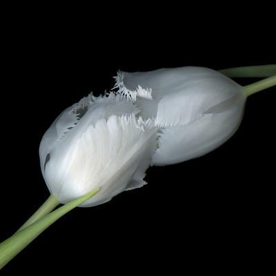 https://imgc.artprintimages.com/img/print/a-kiss-to-build-a-dream-on-tulips_u-l-q1aaau00.jpg?p=0