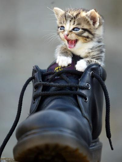 A Kitten in a Boot--Photographic Print