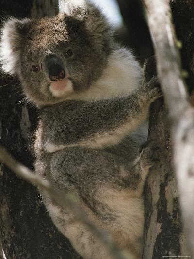 A Koala Bear Clinging to a Tree Trunk-Medford Taylor-Photographic Print