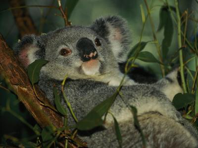 A Koala Bear Clings to a Eucalyptus Tree in Eastern Australia-Nicole Duplaix-Photographic Print