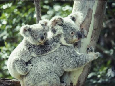 A Koala Bear Hugs a Tree While Her Baby Clings to Her Back-Anne Keiser-Photographic Print
