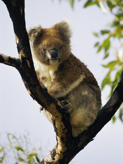 A Koala Bear Sits in a Tree-Nicole Duplaix-Photographic Print