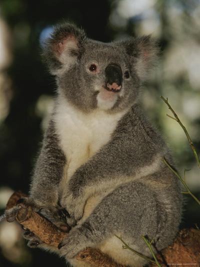 A Koala Clings to a Eucalyptus Tree in Eastern Australia-Nicole Duplaix-Photographic Print