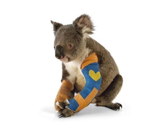 A Koala Recuperates in a Hospital after Being Struck by a Car-Joel Sartore-Photographic Print